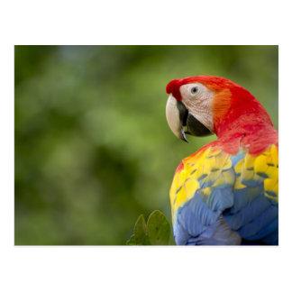 Carte Postale Ara sauvage d'écarlate, forêt tropicale, Costa