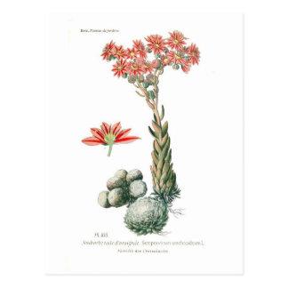 Carte Postale Arachnoideum de Semprvivum