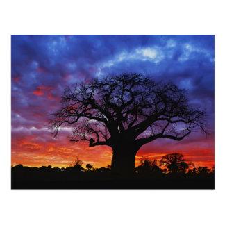 Carte Postale Arbre africain de baobab, digitata d'Adansonia, 2