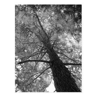 Carte Postale Arbre de séquoia noir et blanc