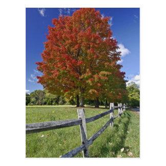 Carte Postale Arbre d'érable rouge dans des couleurs d'automne,