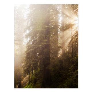 Carte Postale Arbres de séquoia en brouillard de matin avec des
