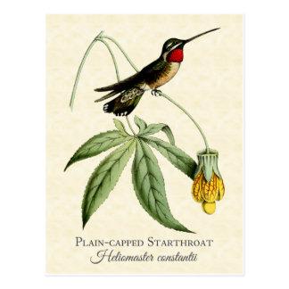 Carte Postale Art de cru de colibri de Starthroat couvert par