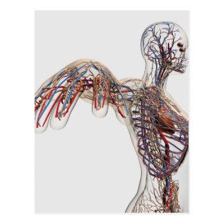 Carte Postale Artères, veines, et système lymphatique 2