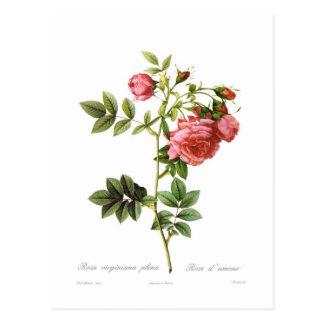 Carte Postale Assemblées plénières de virginiana de Rosa