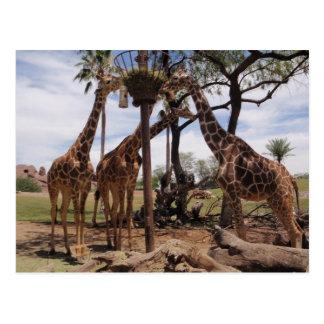 Carte Postale Attaque de girafe