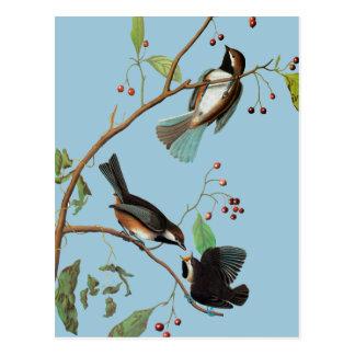 Carte Postale Audubon : Chickadee