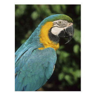 Carte Postale Aurarana bleu et jaune d'ara, d'arums),