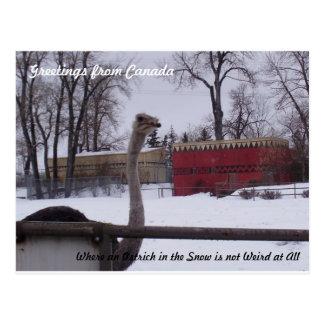Carte Postale Autruche dans la neige