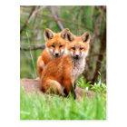Carte postale avec la photo des kits de renard