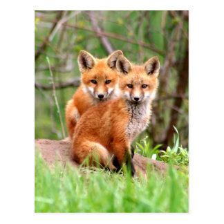 Carte postale avec la photo des kits de renard