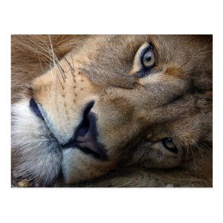 Carte postale avec le lion
