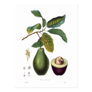 Carte Postale Avocat (Persea americana)