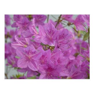 Carte Postale Azalée rose en fleur