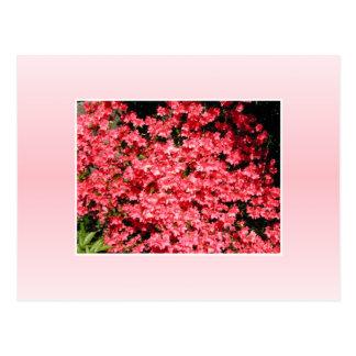 Carte Postale Azalées. Fleurs assez roses