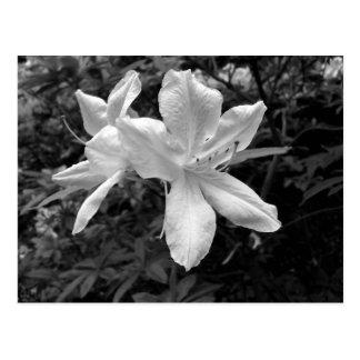 Carte Postale Azalées/rhododendrons dans B&W
