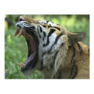Carte Postale bâillement de tigre