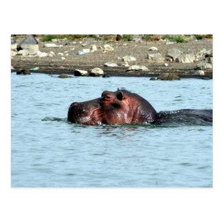 Carte Postale bain d'hippopotame