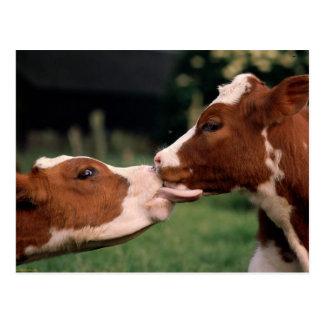 Carte Postale Baisers des vaches