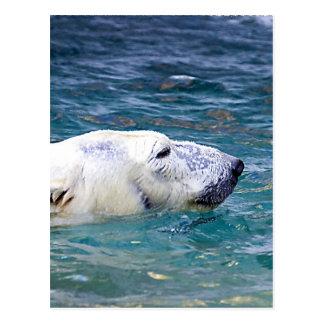 Carte Postale Barbotage de l'ours blanc