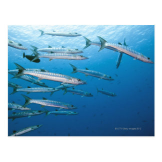 Carte Postale Barracuda de Blackfin