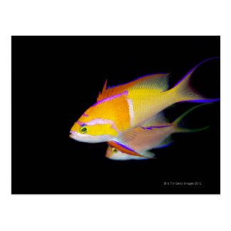 Carte Postale Barre blanche Anthias