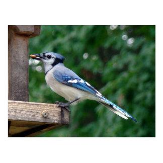 Carte Postale Beau geai bleu