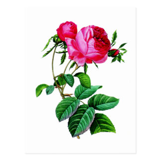 Carte Postale Beaux roses de chou rouge par Redoute