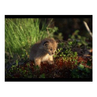 Carte Postale Bébé minuscule Lynx