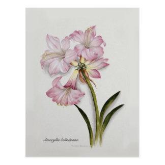 Carte Postale Belladone d'amaryllis