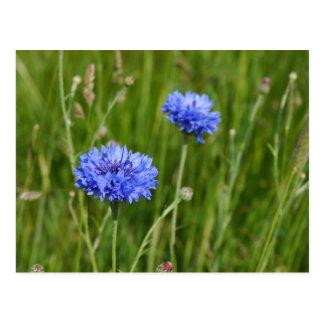Carte Postale Belle conception bleue de fleur de pré de bleuets