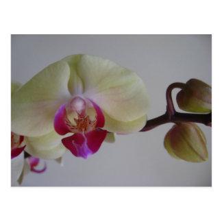 Carte Postale Belles orchidées de jaune de bébé