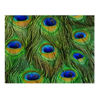 Carte Postale Belles plumes de paon