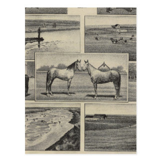 Carte Postale Bétail au Kansas