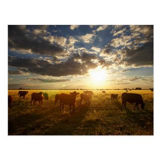 Carte Postale Bétail dans le domaine, coucher du soleil