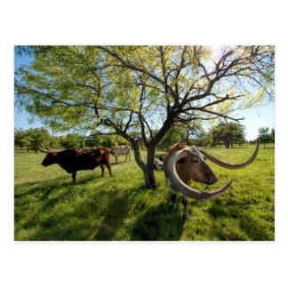 Carte Postale Bétail de Colossol le Texas Longhorn