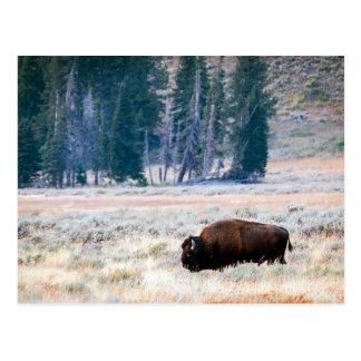 Carte Postale Bison américain en parc national de Yellowstone