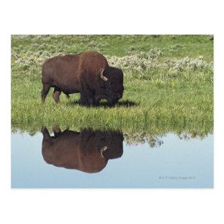 Carte Postale Bison (bison de bison) sur le pré herbeux