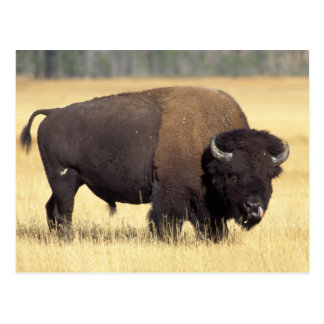 Carte Postale bison, bison de bison, taureau dans le