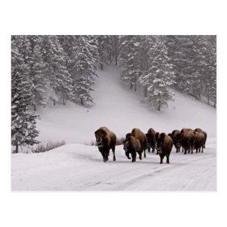 Carte Postale Bison en hiver