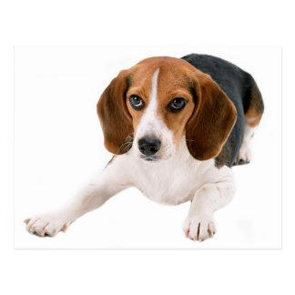 Carte Postale Blanc de chiot de beagle bonjour, Merci, Mlle You