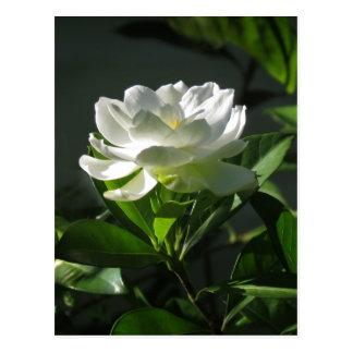 Carte postale blanche 2 de fleur de gardénia