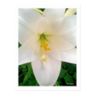 Carte postale blanche de fleur de Lilly