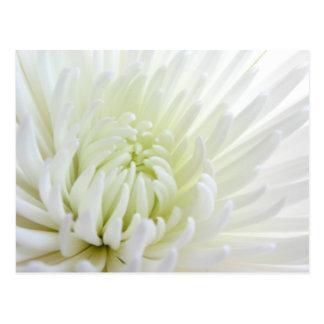 Carte postale blanche de fleur de Spidermum