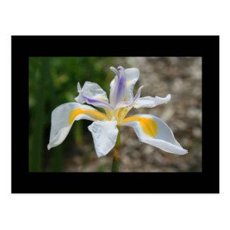 Carte postale blanche de fleur d'iris de papillon