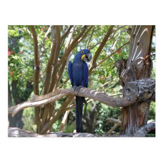 Carte postale bleue de perroquet