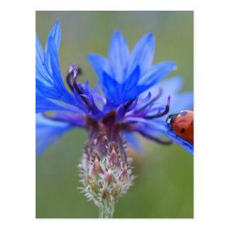 Carte Postale Bleuet rouge de bleu de scarabée de Ladybird