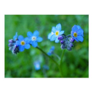 Carte Postale Bleus de myosotis
