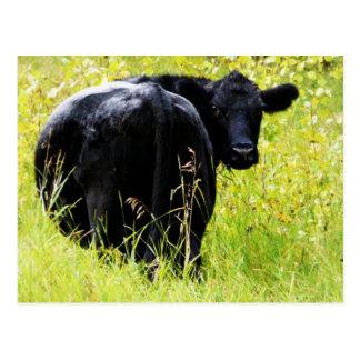 Carte Postale Boeuf d'Angus dans l'herbe jaune grande