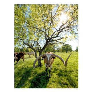 Carte Postale Boeuf magnifique du Texas Longhorn